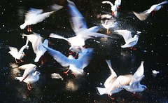 gulls1 (Namaste :-)) Tags: winter2010