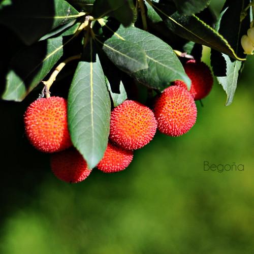 Frutas del otoño. Madroño