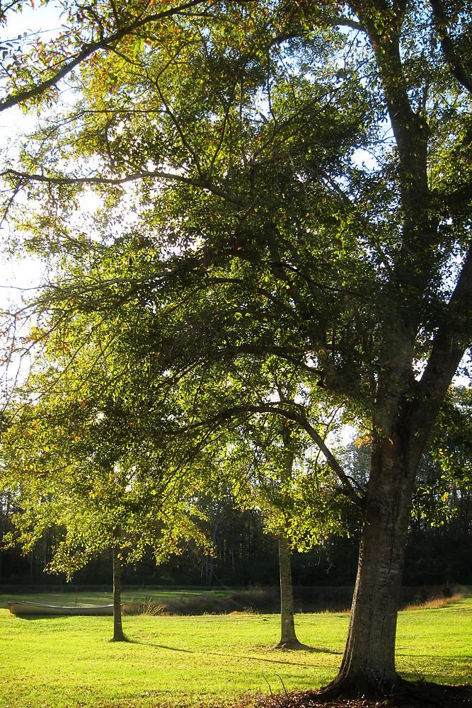Gratitude, Day 24:  Trees