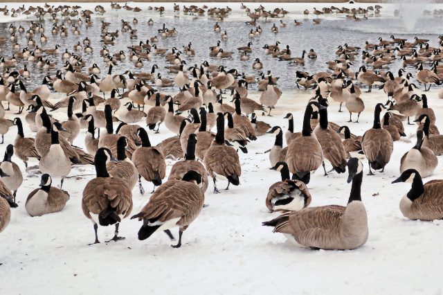 Calvary Cemetery, in Saint Louis Missouri, USA - geese