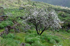 Almond Trees (ebygomm) Tags: almond tenerife 2011