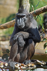 Sulawesi crested macaque monkey Drusillas