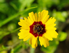 Unidentified Coreopsis sp.