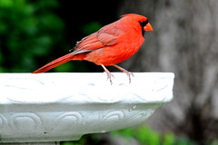 Male Cardinal (spctrm72) Tags: cardinal bird nature