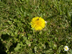 2017-06-11-9556 (vale 83) Tags: dandelion nokia n8 macrodreams friends thebestyellow flickrcolour colourartaward coloursplosion beautifulexpression
