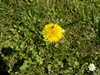 2017-06-11-9556 (vale 83) Tags: dandelion nokia n8 macrodreams friends thebestyellow flickrcolour colourartaward coloursplosion beautifulexpression