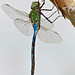 Emperor Dragonfly (Anax imperator) male resting