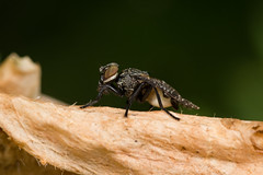 Platystoma seminationis (The LakeSide) Tags: insect macro netherlands nikon r1c1 d7100 tephritidae fly
