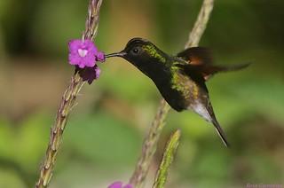 Colibrí Ventrinegro | Black-bellied Hummingbird (Eupherusa nigriventris)