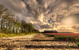 Fields of red tulips.