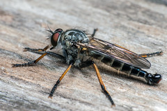 On Standby - _TNY_0053 (Calle Söderberg) Tags: macro canon canon5dmkii canonef100mmf28usmmacro canoneos5dmarkii raynox dcr250 flash meike mk300 glassdiffusor insect fly robberfly assassinfly asilidae rovfluga predator compoundeyes bristles