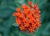 Butterflyweed (mostendorf1) Tags: grownative nativeplant missouri snowballhillprairie missouriprairiefoundation milkweed monarchfood asclepias butterflyweed