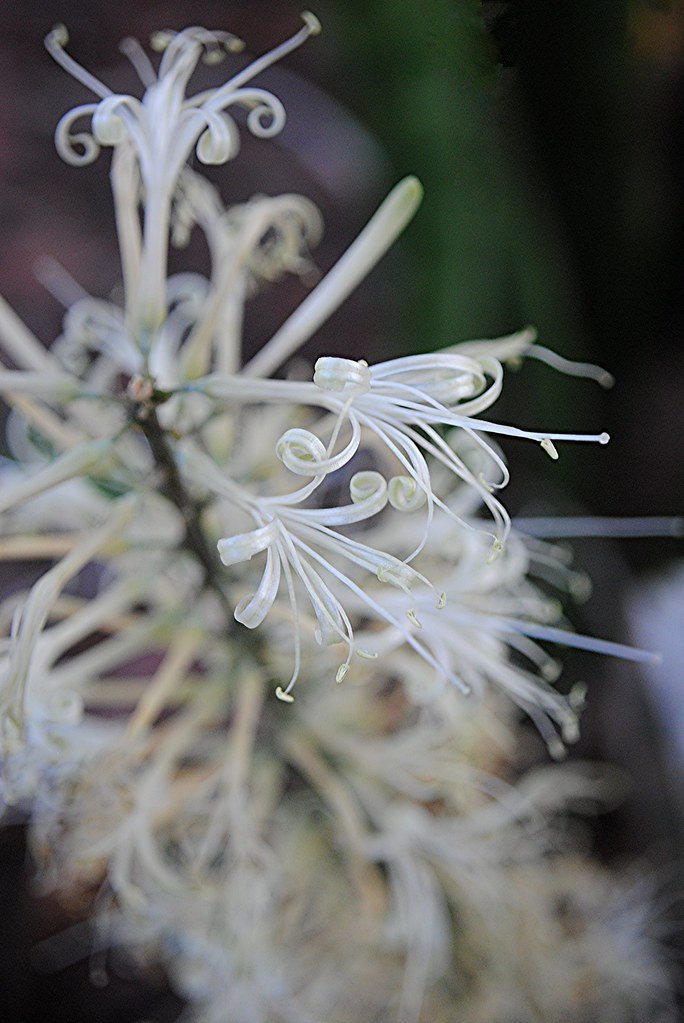 Delicate curling filaments of old fashioned Snake Plant flowers