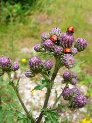 Meeting Point (ivlys) Tags: summer plant flower insect thistle ant ladybird taunus distel marienkfer ameise ivlys groserfeldberg