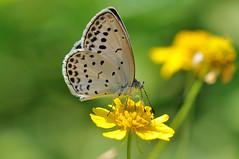 (Pseudozizeeria maha) (myu-myu) Tags: nature japan butterfly insect nikon mygarden   pseudozizeeriamaha  nikkor105mmf28gvrmicro d300s