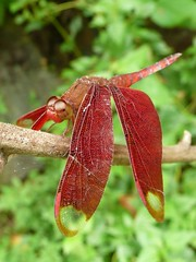 Dragonfly in Ba Be National Park, Viet Nam (woutermaes) Tags: macro nature closeup nationalpark babe flickraward beautifulmonsters tripleniceshot
