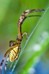 The hunter - Argiope bruennichi - Argiope facie - Araigne frelon - Wasp spider (Domdomfrommionnay) Tags: macro spider web hunter araigne argiopebruennichi waspspider kenkoextension canoneos50d canonef75300mmf456usm araignefrelon argiopefacie