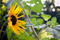 Sunbokehflower (| Mick the mic |) Tags: flowers light summer green canon eos 50mm dof bokeh trento fiori trentino ih 50d canonef50mmf18ii flickraward sopramonte bokehhearts fotografinewitaliangeneration flickrunitedaward fromthecountry 150primavere
