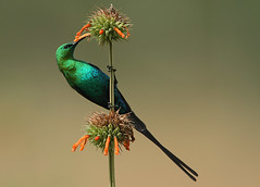 Malachite Sunbird (Nectarinia famosa) (Rainbirder) Tags: ngc malachitesunbird specanimal nectariniafamosa avianexcellence hg~sb flickrstruereflection1 flickrstruereflection2 flickrstruereflection3 flickrstruereflection4 flickrstruereflection5 flickrstruereflection6
