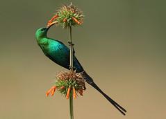 Malachite Sunbird (Nectarinia famosa) (Rainbirder) Tags: ngc malachitesunbird specanimal nectariniafamosa avianexcellence hg~sb flickrstruereflection1 flickrstruereflection2 flickrstruereflection3 flickrstruereflection4 flickrstruereflection5 flickrstruereflection6