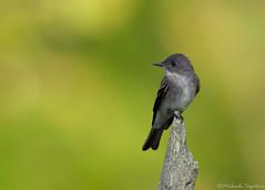 Eastern Wood-Pewee (~ Michaela Sagatova ~) Tags: bird nature dundas easternphoebe flycatcher contopusvirens dvca michaelasagatova