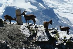 Cabras a Gornergrat (Maria_RL) Tags: naturaleza snow animal switzerland suisse suiza swiss nieve gornergrat animales zermatt montaa cabras piedras