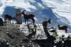 Cabras a Gornergrat (Maria_RL) Tags: naturaleza snow animal switzerland suisse suiza swiss nieve gornergrat animales zermatt montaña cabras piedras