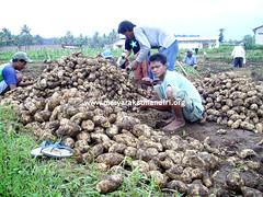 Pemberdayaan Petani Ubi Jalar (Masyarakat Mandiri) Tags: kota migran desa masyarakat mandiri pemberdayaan