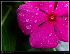 Beads of rain (photos | siraj) Tags: flower rain kerala monsoon lilly wayanad panamaram