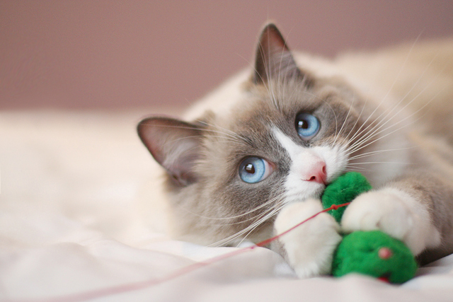 cute cat cuddling with a toy ragdoll