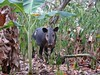 "Young Tapir • <a style=""font-size:0.8em;"" href=""https://www.flickr.com/photos/46837553@N03/4964299075/"" target=""_blank"">View on Flickr</a>"