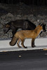 Foxes 1 (Photo Taker 2000) Tags: canon newfoundland wildlife foxes 28135mmis rebelt2i