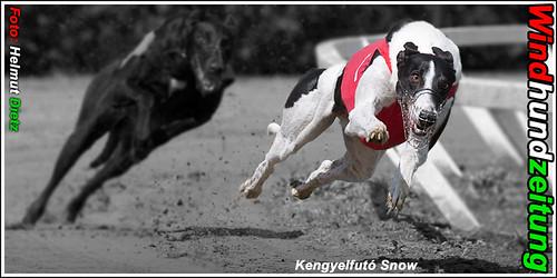 Greyhound Kengyelfutó Snow