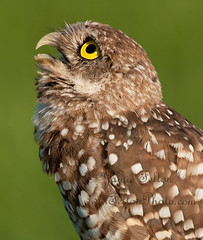 Hawk! Burrowing owl watches the sky (Jamie Felton Photo) Tags: wild portrait nature florida hawk wildlife awesome lookingup lookup owl whoa burrowingowl keepyourchinup