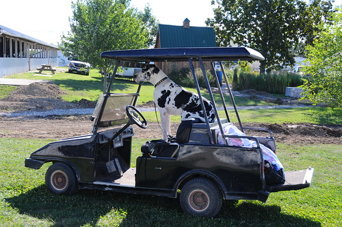 Golf cart with a Great Dane
