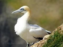 Northern gannet (Jean Knowles) Tags: white bird eye newfoundland gold arr geotag avian allrightsreserved gannet northerngannet morusbassanus newfoundlandandlabrador capestmarysecologicalreserve nottobeusedwithoutmypermission ©2010jeanknowles
