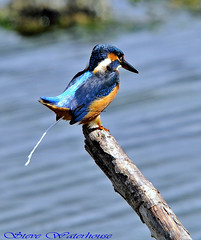 FEMALE KINGFISHER . (spw6156) Tags: copyright female lens hand c steve  iso bbc 400 kingfisher cropped mm 500 held bb seen waterhouse on specanimal autumnwatch bbcredbutton tvas goldwildlife 071010 seenonautumnwatchunsprungspringwatch