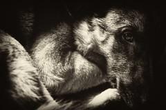 malinois (koontohon) Tags: bw dog malinois thelittledoglaughed