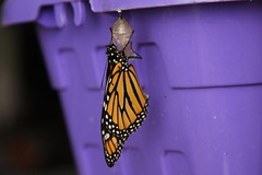 Poof! Monarch butterfly:
