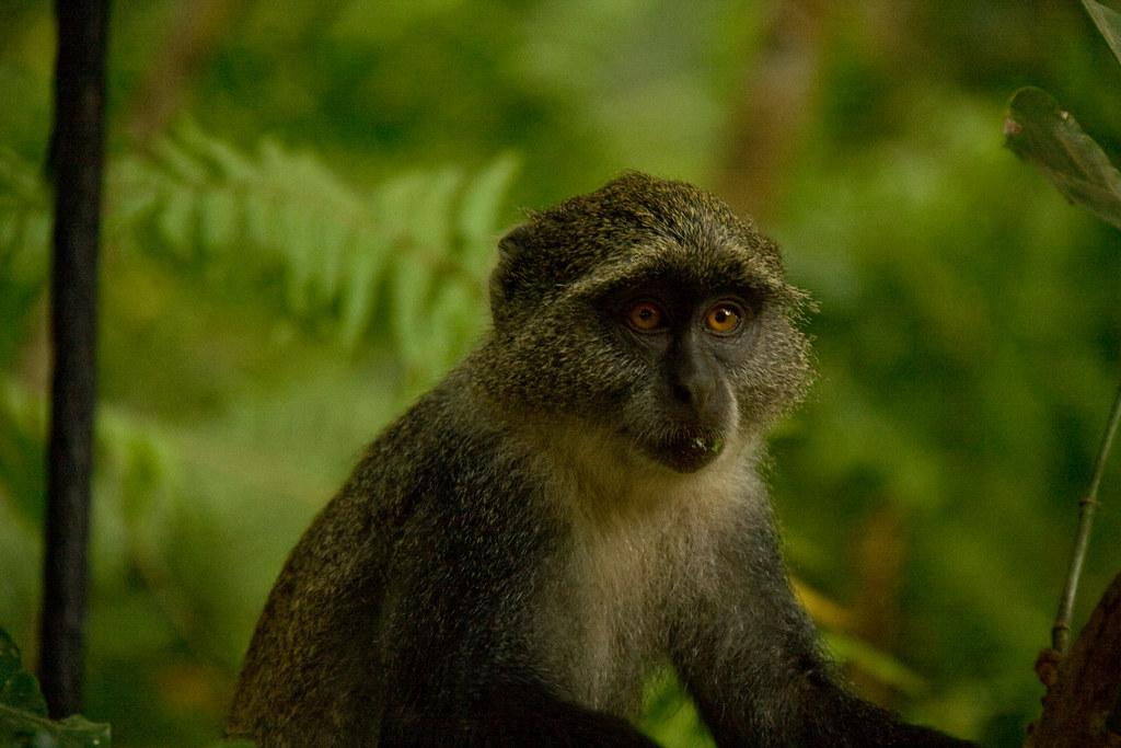 Zanzibar Sykes' Monkey - Jozani Forest, Zanzibar, Tanzania