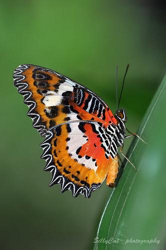 Malay Lacewing(Cethosia hypsea hypsina) | 紅鋸蛺蝶