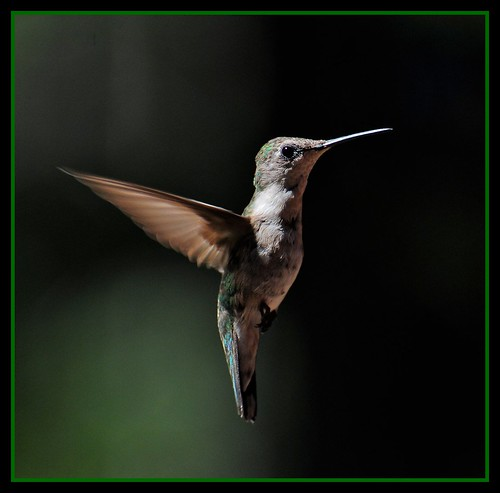 Female Ruby-throated Hummingbird framed