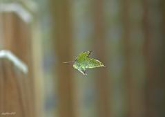 leaf (diegOdariO's SnapShotS) Tags: green art leaf free falling