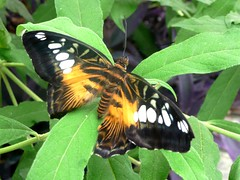 Butterfly (Tasmin_Bahia) Tags: summer england orange plants white plant black colour detail green nature leaves yellow butterfly garden insect leaf wings pretty peace bright warmth peaceful sunny fresh colourful delicate simple magical