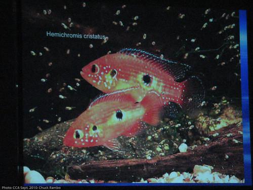Hemichromis cristatus