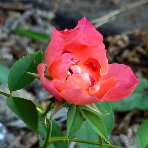 Still a rose.