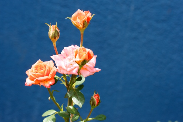 Roses in front of blue wall