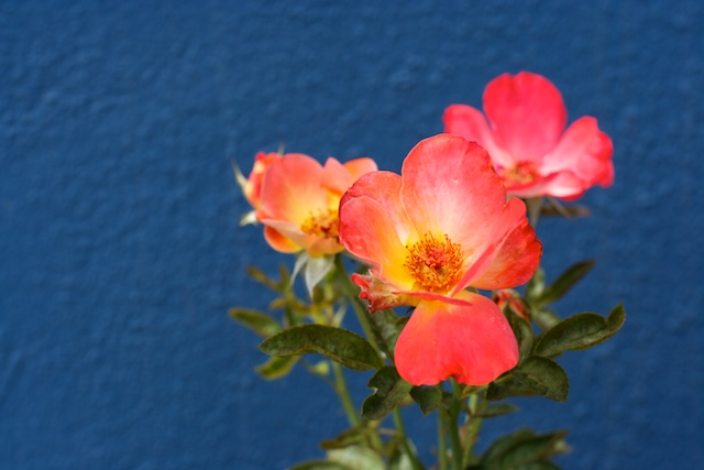 Flowers in front of blue wall