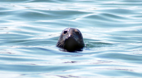 20100803 1406 - Cape Cod - seals - swimming - (by Vicky) - 4867261638_7e25a24973_o