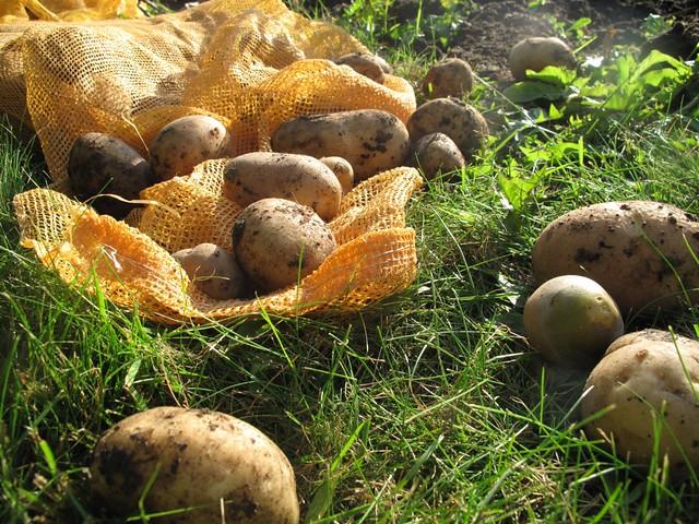 Potato (Solanum tuberosum L.) at Alnarp